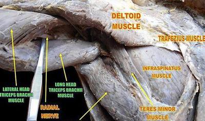 nerves at shoulder