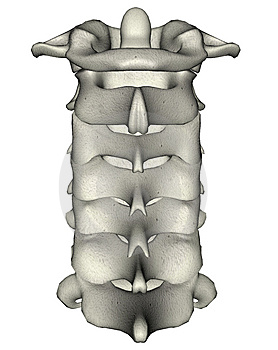 human-posterior-cervical-spine